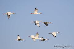 white ibis (amaw) Tags: winner alt