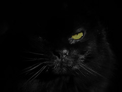 Black (LupaImages) Tags: cat bear feline black face green eyes fur dark love pet family animal indoors spooky beauty
