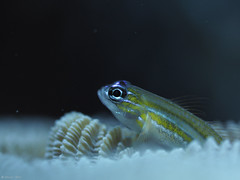 Neon Goby (jesse_the_ros) Tags: angel wandering brain actinopterygii elacatinus gobiinae 60mm blue exploring city nature olympus animalia eye gobiidae photography coral perciformes animal macro goby explore chordata yellow outdoor neon kralendijk bonaire