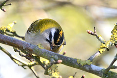 Firecrest Holme NWT Norfolk 3 (JohnMannPhoto) Tags: firecrest holme nwt norfolk