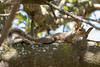 Sciurus carolinensis (Gabriel Paladino Photography) Tags: sciurus carolinensis greysquirrel squirrel africa wild wildlife free reserve nature natural naturaleza canon 77d sigma 150600 contemporary eos companysgarden capetown squirrels sciuridae arboreal urbanparks scientific classification animalia chordata mammalia rodentia sciurini introduced westerncape oaks vegetation southafrica biodiversity bushytail tree arbol ardilla easterngraysquirrel ardilladelascarolinas ardillagrisdelascarolinas ardillagrisoriental ardilladeleste especie roedor esciuromorfo