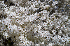 Spring - flowering trees with a magic scent (uiriidolgalev) Tags: spring flowering trees with magic scent