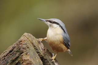 IMGP3518c Nuthatch, Barnwell C.P., March 2018