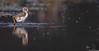 Pied Stilt 27 (Black Stallion Photography) Tags: pied stilt chick bird wildlife newzealand nzbirds water ripple brown young black stallion photography igallopfree