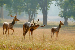 Spotted Deer at Betla National Park (pallab seth) Tags: chital spotteddeer axisaxis cheetal deer female nature wild forest nationalpark betla palamou jharkhand evening india animal jeepsafari stag