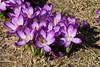 All you can eat for bees (Sockenhummel) Tags: krokus wilhelmsaue crocus frühling spring blumen flowers lila bienen pollinator fuji x30 strasenrand
