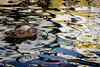 Located Reflection (NathalieSt) Tags: autresmotsclés camargue europe france gard languedocroussillon legrauduroi nikon nikond750 nikonpassion nikonphotography port canard duck reflet reflect reflection