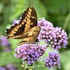Butterfly on flowers (stevelamb007) Tags: chicagobotanicgarden butterfly flowers macro stevelamb nikon d7200 nature garden beautiful colorful tokina 100mmf28