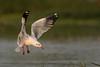 Gull frenzy - 1 (Moving Iris) Tags: birdphotography bird birding nature nikkor200500vr nikkor nikkor200500 nikond500 nikon gull birdinflight