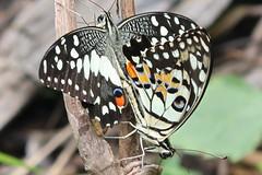 Papilio demoleus malayanus (Lime Butterfly) (GeeC) Tags: animalia arthropoda butterfliesmoths cambodia insecta kohkongprovince lepidoptera limebutterfly nature papilio papiliodemoleusmalayanus papilionidae papilionoidea tatai truebutterflies