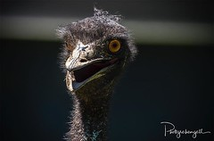 'Wot! You don't like my new hair do? Get outta here!' Emu portrait @nationalzoo - such a character😀! Shooting with @kellymcgannonphotography this day. (grahamgall.photo) Tags: ifttt instagram