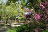 Cherry blossoms at Shofukuji (theq629) Tags: plant cherry blossom flower 櫻花 zen temple japan kyushu fukuoka 福岡
