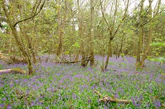 Sea of blue (Sundornvic) Tags: woods trees nature shropshire spring blue bluebells walk path paths