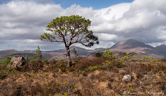Mountain View (.Brian Kerr Photography.) Tags: scotland scottishlandscapes scottish scotspirit scottishhighlands scottishlandscape scotspines sonyuk torridon upperlochtorridon lochtorridon lochshieldaig a7rii altasky45d alba landscapephotography photography photo landscape formatthitech firecrest spring earthday mountains highlands highlandsislands briankerrphotography briankerrphoto visitscotland visitbritain vanguarduk views tree trees outdoor outdoorphotography opoty onlandscape nature naturallandscape natural clouds skies anruadhmheallan beinnalligin torridonmountains mountain sky field grass