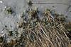 Shoreline (reclaimednj) Tags: 2018 saltmarsh newjersey greatbayblvdwma greatbay nj littleeggharbortownship littleeggharbor oceancounty ribbed mussels fujifilmx100t