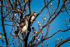 Red-tailed Hawk (jwfuqua-photography) Tags: hawk nature jwfuquaphotography peacevalleynaturecenter jerrywfuqua redtailedhawk birdsofprey buckscountyparks buckscounty pennsylvania