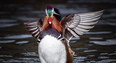 Spectacular bird (Franck Zumella) Tags: lake lac mandarin duck canard rainbow arc ciel arcenciel beau beautiful wonderful merveilleux bird oiseau nature wildlife animalred gren blue rouge vert bleu colors couleur feu artifice fireworks animal red spectacular colours spectaculaire