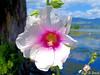 Rose trémière (jean-daniel david) Tags: rosetrémière rose arbre lac lacdeneuchâtel blanc mauve verdure vert ciel nuage bokeh closeup macro grosplan fleur nature yverdonlesbains paysage bourgeon