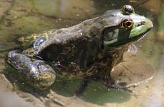 American bullfrog (Lithobates catesbeianus or Rana catesbeiana) (im2fast4u2c) Tags: american bullfrog lithobates catesbeianus or rana catesbeiana sheldonlakestatepark