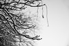 hanging (bluechameleon) Tags: westend barebranches blackandwhite bokeh branches leaf nature shapes snow texture tree vancouver winter sharonwish bluechameleonphotography dangling sky