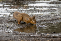 refreshing red (Yvonne Alderson) Tags: red redsquirrels winter drinking water puddle forrest northumberland refreshing break drink thirst reflection