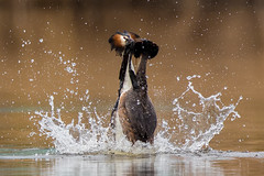 Splash Dance - Great Crested Grebes (Simon Stobart) Tags: great crested grebes podiceps cristatus weed dance water lake splash northeast england coth coth5 naturethroughthelens ngc npc