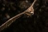 flight path (jeff.white18) Tags: griffonvulture vulture flight wings fly nature nikon feathers flickr