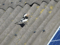 Pied Wagtail (Dave G8HPV) Tags: pied wagtail brandon marsh warwickshire