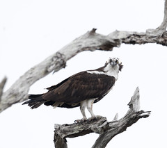2018 Birds of the Mississippi River Delta (8) (maskirovka77) Tags: saintbernard louisiana unitedstates us river delta bird osprey fisheagle baldeagle shrike pelican egret