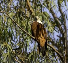 20180324-0I7A7595 (siddharthx) Tags: canonef100400f4556isiimanjeeradammanjeerasanctuaryb telangana india in canonef100400f4556isiimanjeeradammanjeerasanctuarybirdtelanganagoldenhourdawnsunrise brahminykite redbackedseaeagle kite birdsofindia birdonabranch birdsoftelangana bird birdofprey