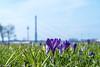 Happy Easter (patuffel) Tags: crocus duesseldorf dusseldorf düsseldorf krokus blaues band wiese leica 50mm