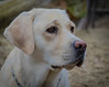 Portrait of a Labrador (frankmh) Tags: animal dog labrador portrait hittarp skåne sweden