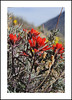Nine Mile Canyon Wildflowers (AussieinUSA) Tags: desertpaintbrush castillejachromosa california 2018wildflowers 2018 wildflowers ninemilecanyon inyocounty