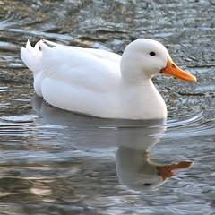 1576 C'EST UN SIGNE (rustinejean) Tags: rustine animal carnaval canard blanc signe cygne 1 un humour nature normandie