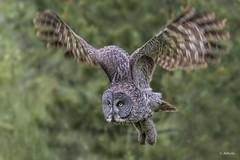 Great Grey Owl / Chouette lapone (shimmer5641) Tags: strixnebulosa greatgreyowl chouettelapone raptor birdofprey birdsofbritishcolumbia birdsofnorthamerica owl strigidaefamily