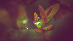 Rain drop (Dhina A) Tags: sony a7rii ilce7rm2 a7r2 kaleinar mc 100mm f28 kaleinar100mmf28 5n m42 nikonf russian ussr soviet 6blades water rain drop leaves leaf
