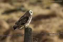 Shorty (Ross Forsyth - tigerfastimagery) Tags: owl owls shorty shorties scotland wildlife nature wild free birdofprey bop shortearedowl posted glen glens perthshire