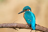 The king (rubacolor) Tags: alcedo atthis kingfisher martin pescatore uccello birds natura colore