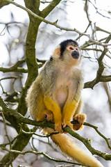 Looking up (Photography by Martijn Aalbers) Tags: squirrelmonkey doodshoofdaapje apenheul apeldoorn guelders gelderland animal dier zoo dierentuin beast beest mammal zoogdier canoneos77d ef70200mmf4lisusm wwwgevoeligeplatennl
