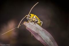 Cucumber Beetle on an Aster Petal (Teddy Alfrey) Tags: beetle cucumberbeetle nikon nature garden