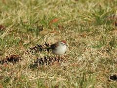 Chipping Sparrow (Ben_The_Hen) Tags: bird birding illinois grass sparrow pinecone chicago