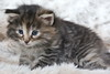 Member of the O-litter 4 weeks old (Titran's Norsk Skogkatt) Tags: nfo titran titrans chat chaton cat kitten wegie norweger noor norvégien waldkatze boskat norge norway