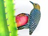 WHEN SPRING RETURNS, THE EARTH BECOMES A CHILD WHO RECITES POETRY (Irene2727) Tags: cactus thorns needles fruit woodpecker bird red green outside coth5