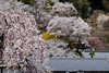 Hasedera spring (HarQ Photography) Tags: fujifilm fujifilmxseries xt2 xf50140mmf28rlmoiswr spring japan nara hasedera temple sakura cherryblossom