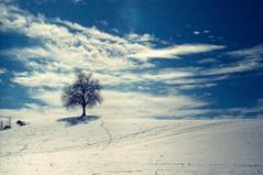 Tree on a sunny winter day (Adlisibirsk) Tags: epsonv850 leicamp summilux50mmasph color analog iso400 üetliberg rolleivariochrome