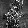 mamiya140318010 (salparadise666) Tags: mamiya c330 sekor 180mm super fomapan 100 boxspeed caffenol cl 45min nils volkmer vintage tlr film analogue camera nature landscape detail trees woods 6x6 format square medium hannover region niedersachsen germany north german plains monochrome bw black white