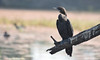 Little cormorant (praveen.ap) Tags: little cormorant littlecormorant keoladeonationalpark keoladeoghananationalpark keoladeo bharatpur bharatpurbirdsanctuary rajasthan