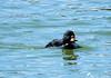 Je suis à donf pour aller voir le photographe :o) (jean-daniel david) Tags: oiseau oiseaudeau canard macreuseàbecjaune macreuse plongeur eau lac lacdeneuchâtel réservenaturelle yverdonlesbains reflet noir nature