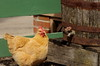 So Thirsty, Kline Creek Farm. (EOS) (Mega-Magpie) Tags: canon eos 60d outdoors kline creek farm west chicago dupage il illinois usa america chicken