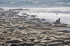 Elephant Seal Vista Point (morbidtibor) Tags: usa california highway1 coast elephantseal elephantsealvistapoint seal